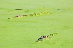 潜伏在湖中,澳大利亚的水的盐水鳄鱼 免版税库存照片