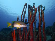 潜伏在红色笔直绳索海绵,特别的事,博内尔岛丛林的男校长  免版税库存照片