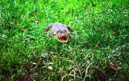 潜伏在草的鳄鱼 免版税库存图片