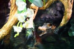 潜伏在水中的鳄鱼的头 库存图片