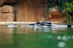 潜伏在水中的鳄鱼 免版税图库摄影