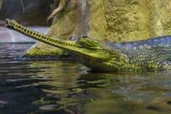 潜伏在水狩猎的Gharial鳄鱼 免版税库存图片