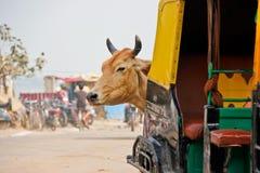 潜伏在Tuk-Tuk后的母牛在印度 免版税库存图片