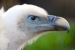 潜伏的兀鹫的头欺骗fulvus 免版税库存图片
