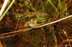 潜伏的青蛙 免版税库存图片