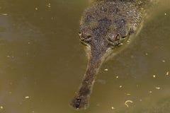 潜伏的鳄鱼 免版税图库摄影