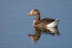 潜水入面包的湖水的黑朝向的海鸥 免版税库存照片