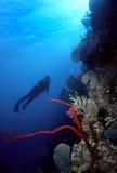 潜水员手指红色海绵 免版税库存照片