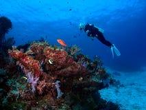 潜水员看看珊瑚 免版税库存照片