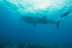 潜水员鲨鱼鲸鱼 库存图片