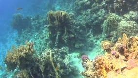 潜水在红海,惊人的珊瑚礁的印象深刻的类型 影视素材