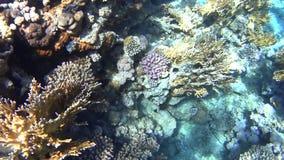 潜水在红海,惊人的珊瑚礁的印象深刻的类型 股票视频