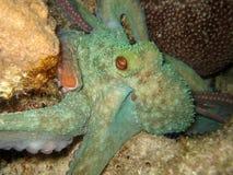 潜水晚上otopus 图库摄影