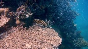 潜水的埃及红海鱼和珊瑚 股票视频