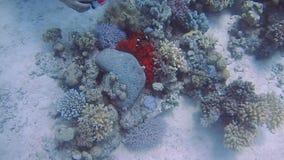 潜水的埃及红海鱼和珊瑚 股票录像