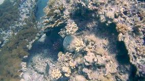 潜水的埃及红海鱼和珊瑚 影视素材