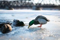 潜水的野鸭公鸭子在一个冻河湖或池塘的凉水中冬天日落光的 库存图片