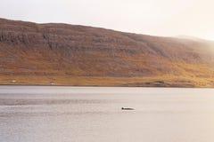 潜水的鲸鱼  库存图片
