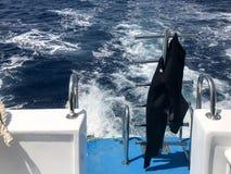 潜水的黑防水保温潜水服,游泳在cto垂悬下降入大海,一条快速的浮动小船的,船海, 库存图片