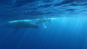 潜水者做照片驼背鲸照顾和年轻小牛水中海洋 影视素材