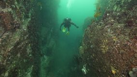潜水者和巨蟹水下在堪察加海底  股票视频