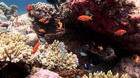 潜水者和鱼石水下的惊人的海底珊瑚礁的手在马尔代夫 影视素材