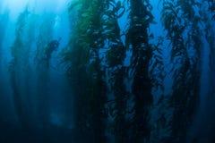 潜水者在海带森林里 库存图片