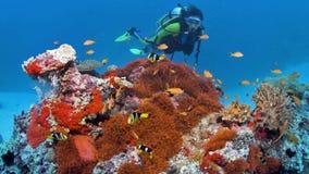 潜水者看与白有鬃毛的anemonefish,生气蓬勃的Stillphoto的巨大的银莲花属 股票视频