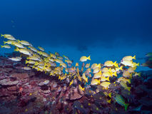 潜水马尔代夫 免版税图库摄影