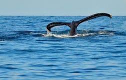 潜水驼背鲸尾巴比目鱼  库存照片