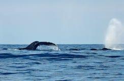 潜水驼背鲸尾巴比目鱼  库存图片