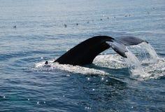 潜水驼背鲸 免版税库存照片