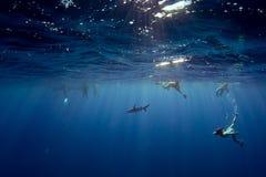 潜航与鲨鱼的人们在波里尼西亚的蓝色海洋 免版税库存照片