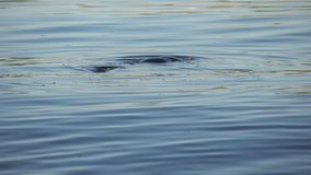 潜航入水,救援活动的Freediver搜寻被淹没的身体 影视素材