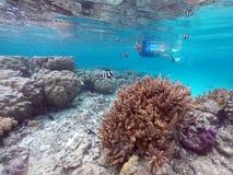 潜航在与热带鱼的健康珊瑚上的妇女在Rar 库存图片