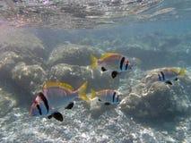 潜航在红海 库存照片