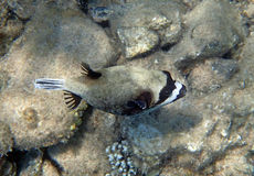 潜航在红海 免版税库存照片