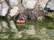 潜鸭, Aythya ferina,在水,沃里克郡的唯一男性 免版税库存照片