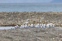 潜水在斯瓦尔巴特群岛的Kittwake鸟 库存照片