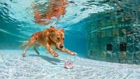 潜水在水面下在游泳池的狗 免版税库存照片