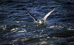 潜水海鸥在海 免版税库存照片