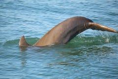 潜水的共同的宽吻海豚尾巴  库存图片