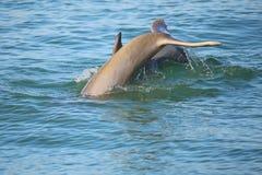 潜水的共同的宽吻海豚尾巴  图库摄影