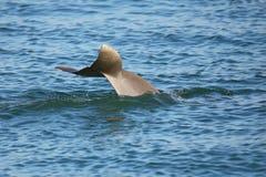 潜水的共同的宽吻海豚尾巴  免版税库存图片
