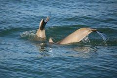潜水的共同的宽吻海豚尾巴  免版税库存照片