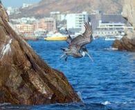 潜水的鹈鹕飞行下来抓鱼临近Los卡约埃尔考斯/土地在Cabo圣卢卡斯巴哈墨西哥结束 库存照片