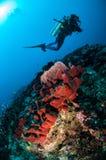 潜水者、海绵和各种各样的珊瑚鱼在Gili,龙目岛,努沙登加拉群岛Barat,印度尼西亚水下的照片 免版税库存图片