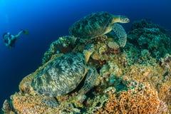 潜水者和大乌龟 免版税库存图片