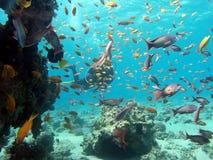 潜水者和许多鱼 免版税库存照片