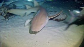 潜水马尔代夫-鲨鱼 股票录像